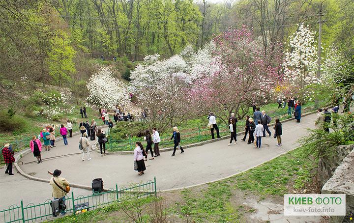 Цвітіння магнолії в Києві - фотографії