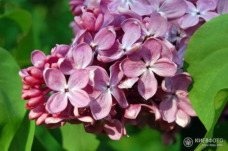 Цвітіння бузку в Києві - фотографії (де і коли цвіте бузок в Києві)